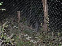 Unos divljih svinja u repro centru u Godačici 24.09.2013.godine