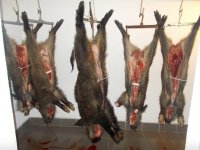Odstreli divljih svinja od 08.12.2013. godine: 3 d.svinje iz lovišta Studenica, 2 d.svinje iz lovišta Ibar