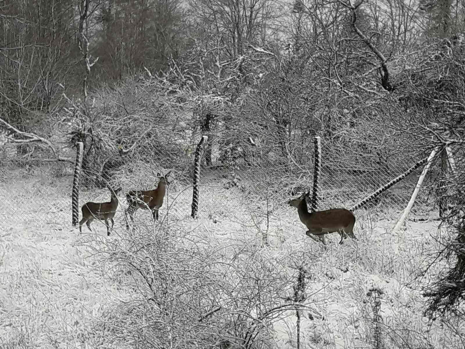 """Evropski jeleni u lovištu """"Studenica"""""""