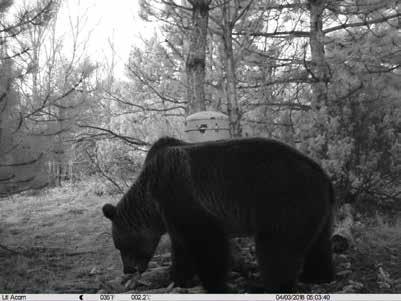 Medved u kraljevačkom lovištu